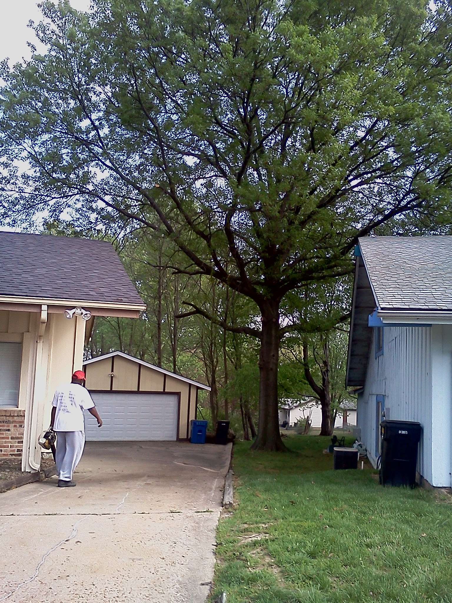 St. Louis Tree Trimming Before and After Photos